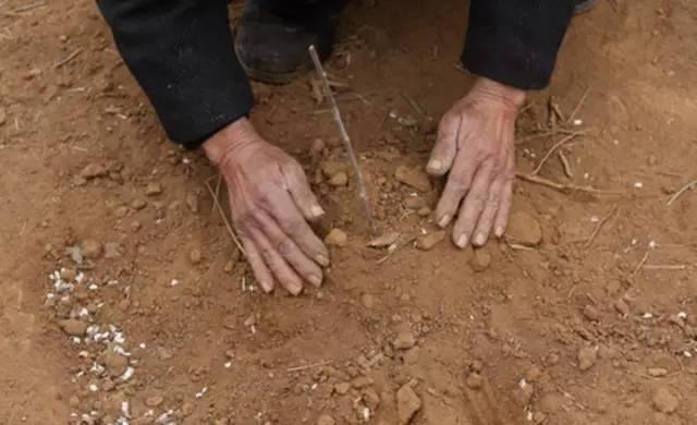 11 năm trồng hoa đào trên đồi trống, ai cũng tưởng lão nông này gàn dở, cho đến khi biết lý do... - Ảnh 3.