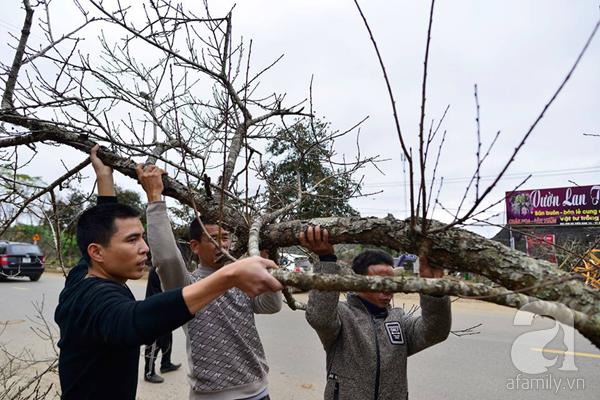 Đào rừng Mộc Châu về đến Hà Nội có giá cao nhất 30 triệu/cành - Ảnh 10.