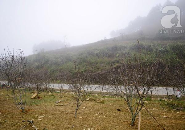 Đào rừng Mộc Châu về đến Hà Nội có giá cao nhất 30 triệu/cành - Ảnh 3.
