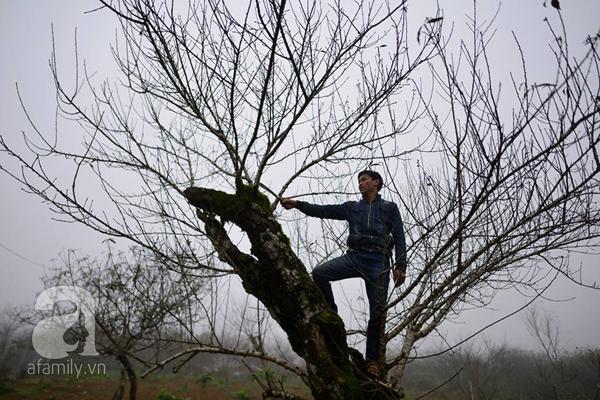 Đào rừng Mộc Châu về đến Hà Nội có giá cao nhất 30 triệu/cành - Ảnh 1.