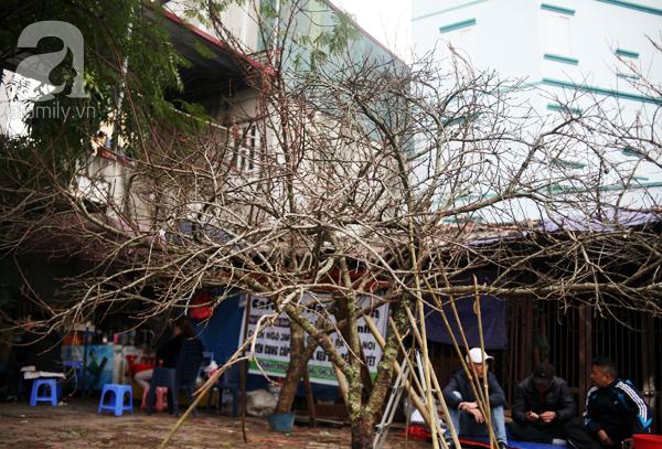 Đào rừng Mộc Châu về đến Hà Nội có giá cao nhất 30 triệu/cành - Ảnh 14.