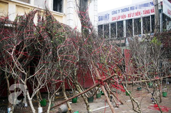 Đào rừng Mộc Châu về đến Hà Nội có giá cao nhất 30 triệu/cành - Ảnh 13.