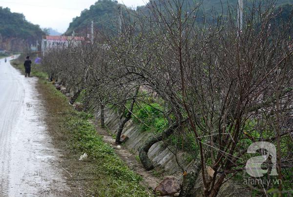 Đào rừng Mộc Châu về đến Hà Nội có giá cao nhất 30 triệu/cành - Ảnh 2.