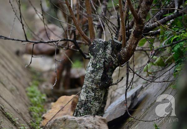 Đào rừng Mộc Châu về đến Hà Nội có giá cao nhất 30 triệu/cành - Ảnh 7.