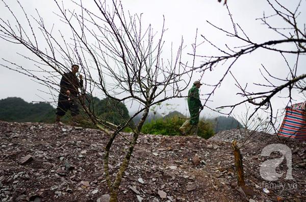Đào rừng Mộc Châu về đến Hà Nội có giá cao nhất 30 triệu/cành - Ảnh 9.