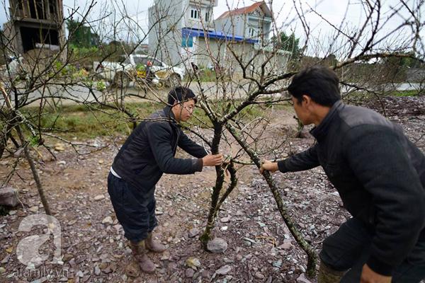 Đào rừng Mộc Châu về đến Hà Nội có giá cao nhất 30 triệu/cành - Ảnh 6.