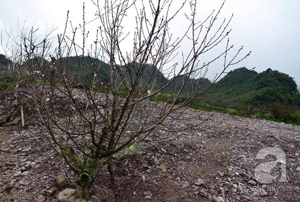 Đào rừng Mộc Châu về đến Hà Nội có giá cao nhất 30 triệu/cành - Ảnh 5.