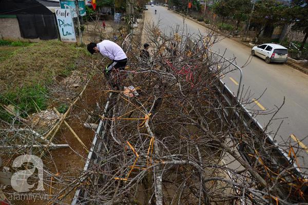 Đào rừng Mộc Châu về đến Hà Nội có giá cao nhất 30 triệu/cành - Ảnh 11.