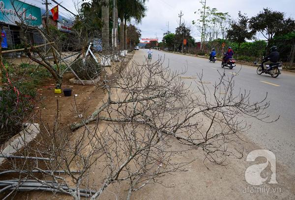 Đào rừng Mộc Châu về đến Hà Nội có giá cao nhất 30 triệu/cành - Ảnh 4.
