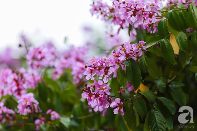Sắc tím hoa bằng lăng khiến Hà Nội thơ mộng hơn giữa mùa hạ cháy - Ảnh 2.
