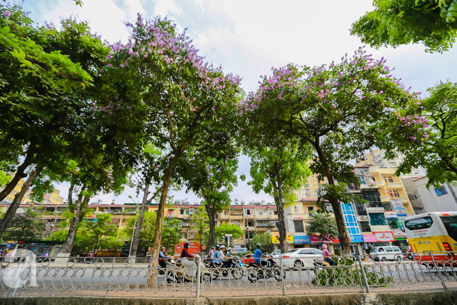 Sắc tím hoa bằng lăng khiến Hà Nội thơ mộng hơn giữa mùa hạ cháy - Ảnh 3.