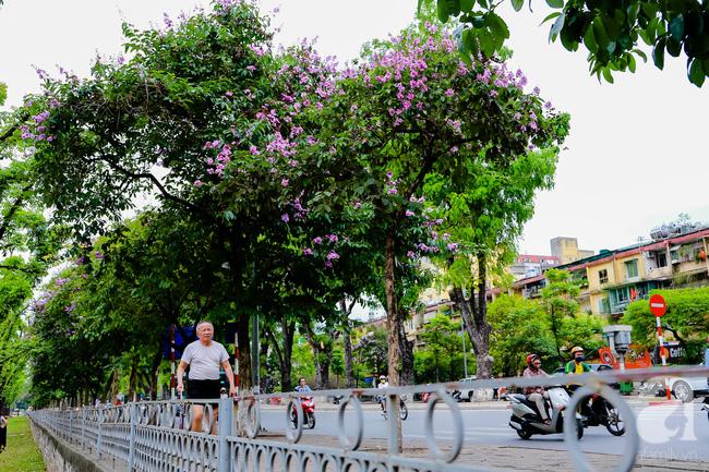 Sắc tím hoa bằng lăng khiến Hà Nội thơ mộng hơn giữa mùa hạ cháy - Ảnh 7.