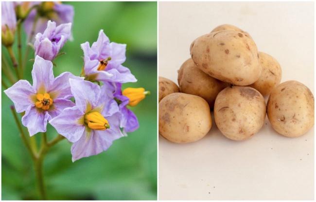 Ai cũng từng ăn củ quả quen thuộc này nhưng mấy ai biết hoa của chúng ra sao - Ảnh 11.