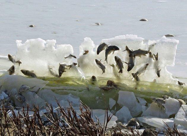 Sự thật bất ngờ phía sau cảnh tượng đàn cá đóng băng khi nhảy lên khỏi mặt nước - Ảnh 1.
