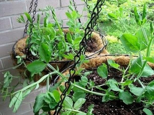 6 loại rau củ quả bạn có thể trồng trong giỏ mà vẫn sai quả, tươi tốt - Ảnh 4.