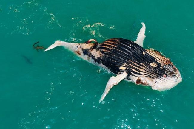 Thấy cá voi nổi lềnh bềnh trên biển, người đàn ông lại gần mới giật mình vì cảnh tượng hãi hùng