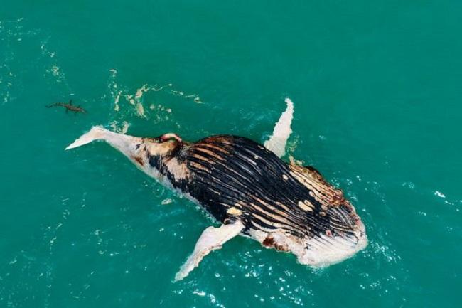 Thấy cá voi nổi lềnh bềnh trên biển, người đàn ông lại gần mới giật mình vì cảnh tượng hãi hùng - Ảnh 5.