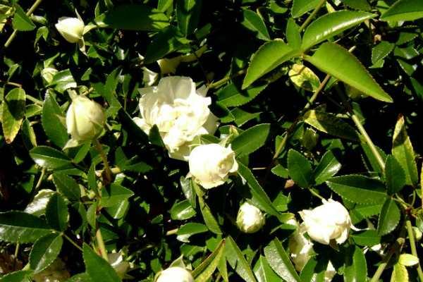 Cây hoa hồng lớn nhất thế giới, to như cây cổ thụ phủ kín gần 1000m2 đất - Ảnh 5.