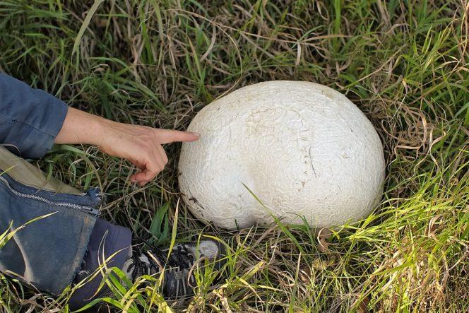 Cứ ngỡ tảng đá trơ trọi trên bãi cỏ, người phụ nữ lại gần mới biết mình nhặt được của lạ quý hiếm, ít ai được chiêm ngưỡng