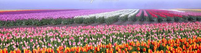 6 khu vườn hoa tulip chỉ nhìn thôi cũng khiến người ta ngất ngây bởi quá đẹp, quá rực rỡ - Ảnh 2.