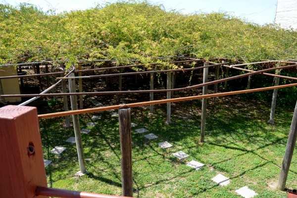 Cây hoa hồng lớn nhất thế giới, to như cây cổ thụ phủ kín gần 1000m2 đất - Ảnh 3.