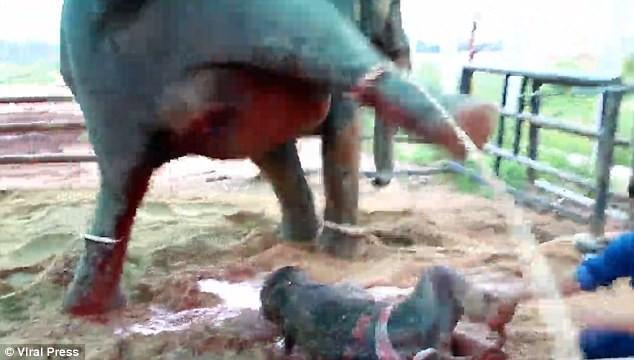 Kinh hoàng cảnh tượng voi mẹ giẫm đạp không thương tiếc voi con mới sinh - Ảnh 3.