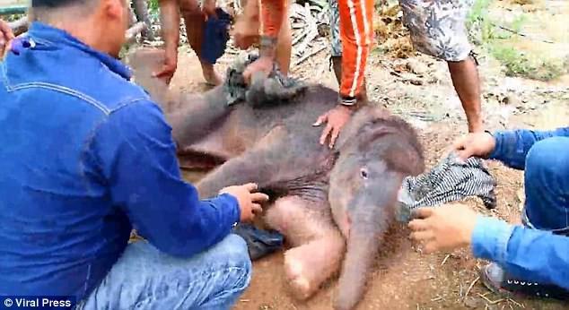 Kinh hoàng cảnh tượng voi mẹ giẫm đạp không thương tiếc voi con mới sinh - Ảnh 5.