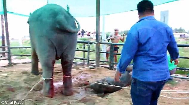 Kinh hoàng cảnh tượng voi mẹ giẫm đạp không thương tiếc voi con mới sinh - Ảnh 4.