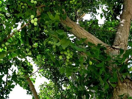 Ăn hơn 50 hạt bạch quả, một phụ nữ phải đi cấp cứu: Điều cần tránh khi ăn hạt bạch quả để tránh hại thân - Ảnh 5.