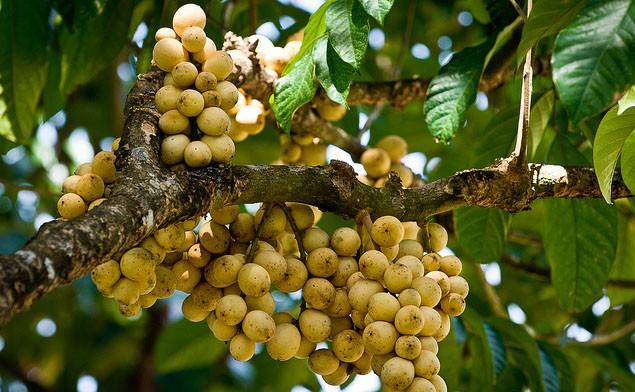 Bòn bon xứ Quảng: từ quả rừng quê nghèo trở thành cực phẩm nam trân vì có công cứu đói vua Gia Long - Ảnh 4.