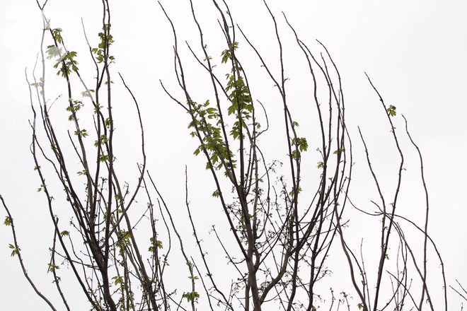 Chùm ảnh: Hàng trăm cây phong lá đỏ đã mọc lá, nảy chồi giữa Thủ đô - Ảnh 4.