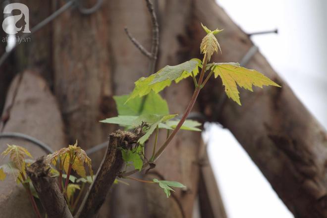 Chùm ảnh: Hàng trăm cây phong lá đỏ đã mọc lá, nảy chồi giữa Thủ đô - Ảnh 7.
