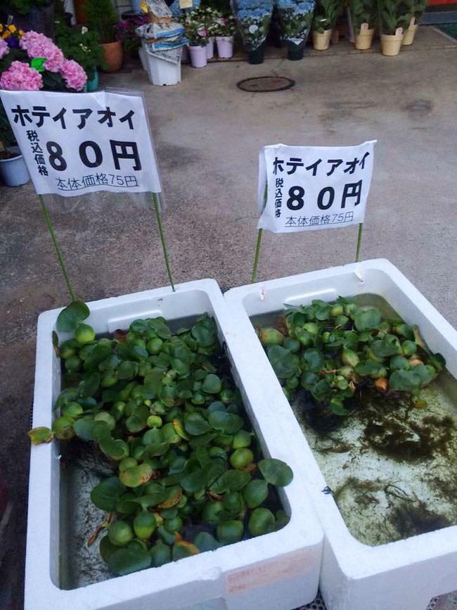Chổi bông giá 2 triệu, hoa mai giả tận 15 triệu còn lá chuối, bèo tây thành đặc sản, đích thị là hàng Việt bán ở Nhật Bản rồi! - Ảnh 10.