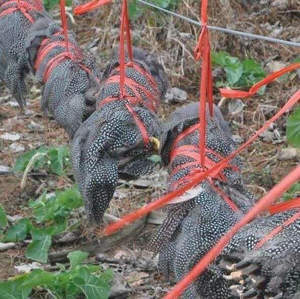 Chuột bao tử ăn sống, gà khô để nguyên lông là 2 trong 5 món ăn kỳ quái nhất Trung Quốc, người phàm ăn nhất cũng ái ngại - Ảnh 14.