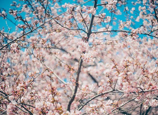 Ngẩn ngơ trước vẻ đẹp của hoa anh đào Nhật Bản trong mùa Hanami - Ảnh 6.