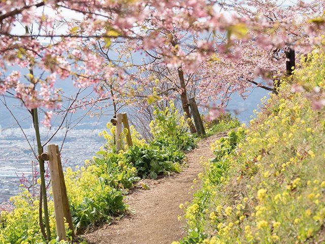 Ngẩn ngơ trước vẻ đẹp của hoa anh đào Nhật Bản trong mùa Hanami - Ảnh 4.