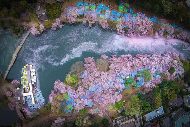 Ngẩn ngơ trước vẻ đẹp của hoa anh đào Nhật Bản trong mùa Hanami - Ảnh 1.
