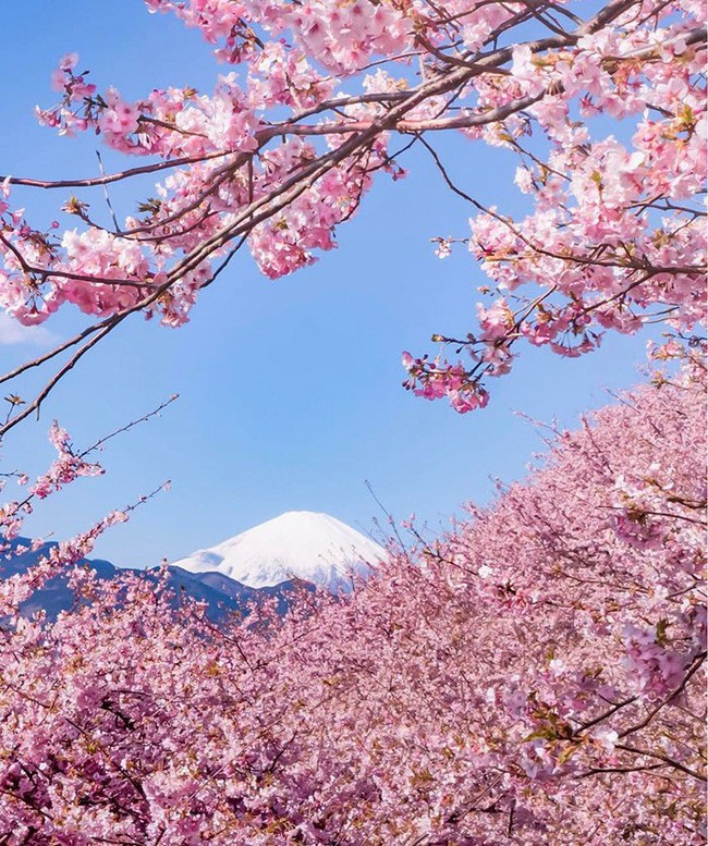 Ngẩn ngơ trước vẻ đẹp của hoa anh đào Nhật Bản trong mùa Hanami - Ảnh 3.