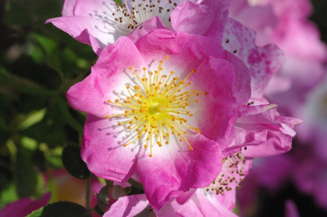 7 loài hoa hồng leo đẹp như những vũ công quyến rũ nên có mặt trong vườn của bạn - Ảnh 19.