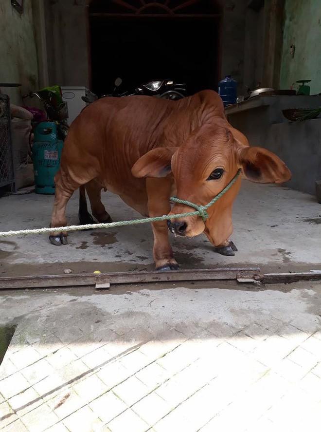 Chú bò chân ngắn khiến dân mạng thắc mắc sữa bò gấp đôi canxi để làm gì - Ảnh 1.