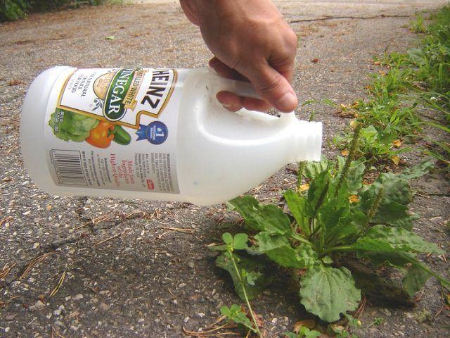 Con gái dùng giấm đổ vào đất trong vườn, bà mẹ phát hoảng vì sợ hỏng đất trồng rau nhưng vài ngày sau mới bất ngờ vì kết quả - Ảnh 2.