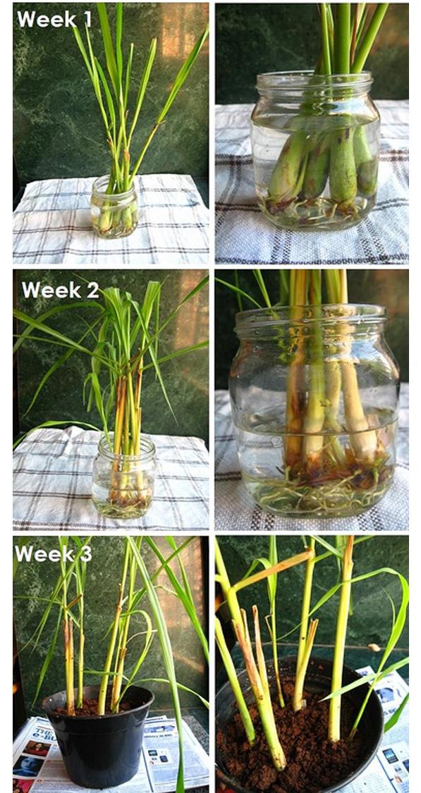 Hãy học cách trồng sả như nàng bếp trưởng này, chỉ vài tuần là có chậu cây đuổi muỗi hiệu quả, vừa làm tiểu cảnh trang trí xinh xắn - Ảnh 3.