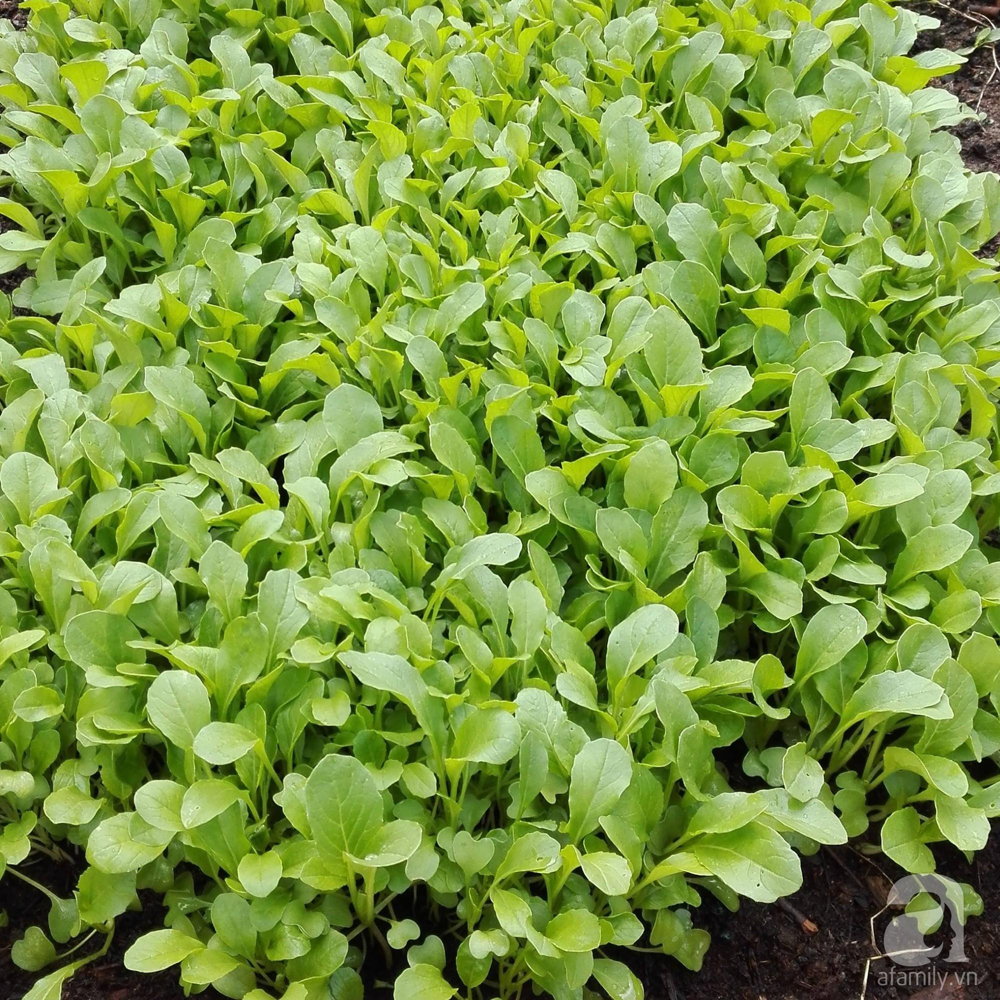 Choáng ngợp trước vườn rau sạch rộng 600m² với đủ rau trái Việt của bà mẹ trẻ ở nước ngoài - Ảnh 7.