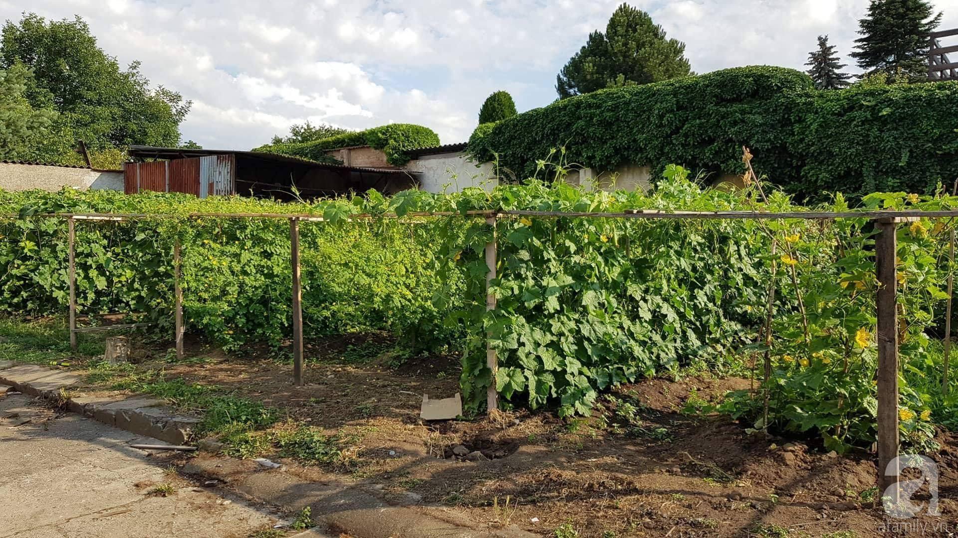 Choáng ngợp trước vườn rau sạch rộng 600m² với đủ rau trái Việt của bà mẹ trẻ ở nước ngoài - Ảnh 5.