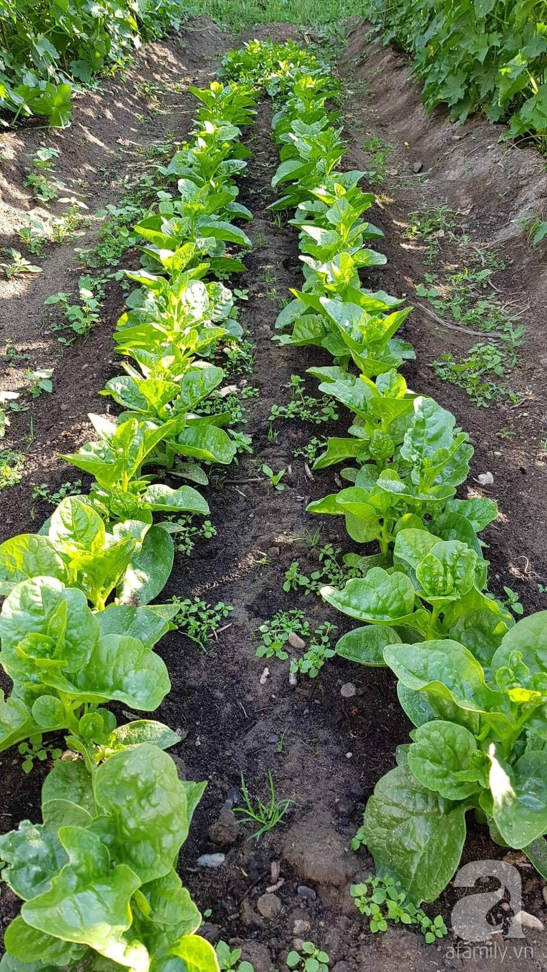 Choáng ngợp trước vườn rau sạch rộng 600m² với đủ rau trái Việt của bà mẹ trẻ ở nước ngoài - Ảnh 15.