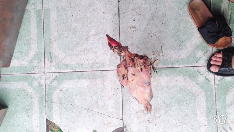Nàng dâu đánh vật làm thịt gà, lông thì sạch nhưng vẫn chạy quanh sân khiến chị em sửng sốt - Ảnh 1.