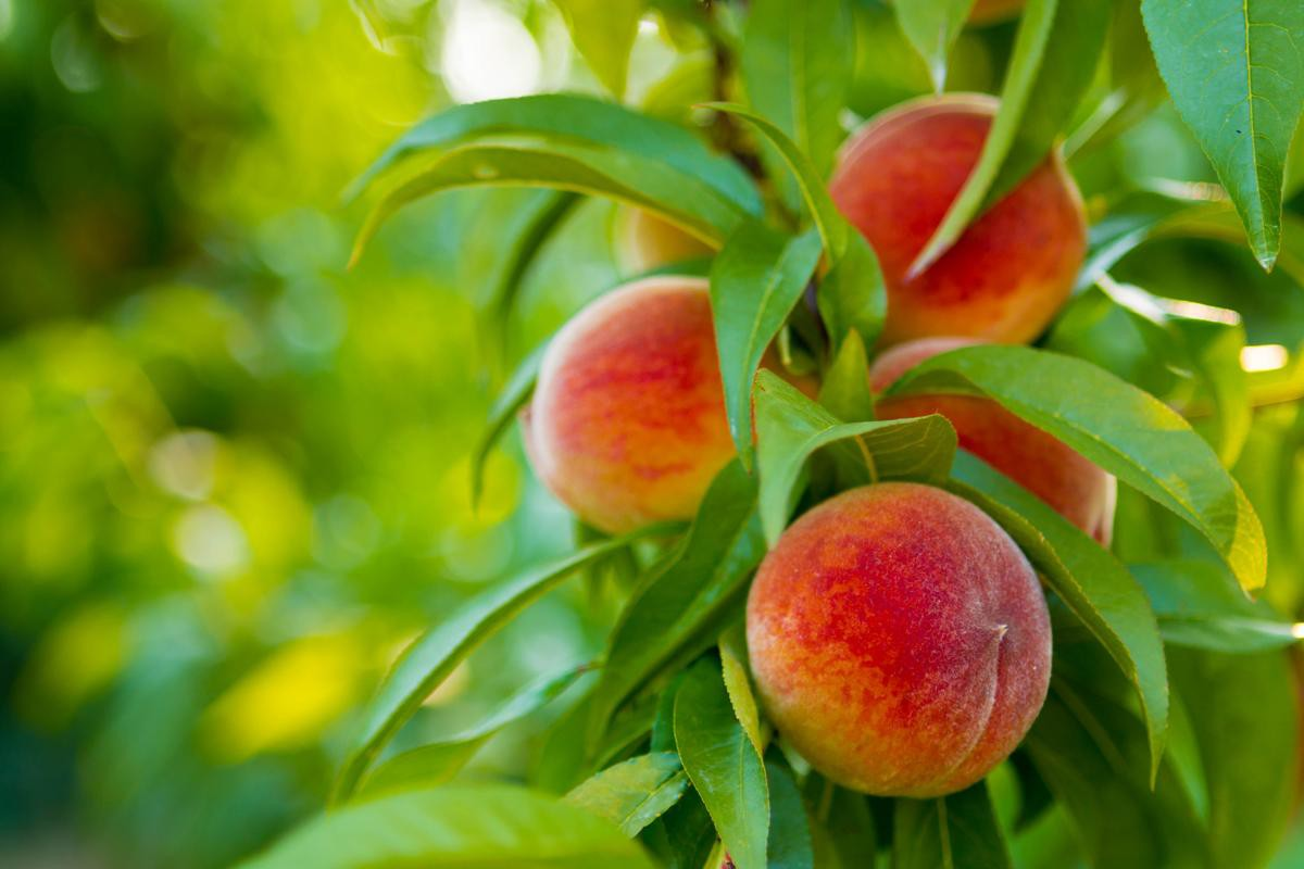 1200-480099114-ripe-peaches