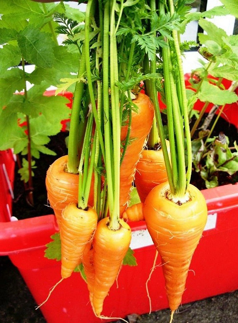 Cách trồng cà rốt tại nhà cực đơn giản, mùa nào cũng có cà rốt sạch để ăn - Ảnh 1.