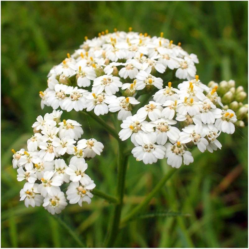 Để giảm stress và thêm yêu đời thì đừng bỏ qua 4 loài hoa này trong khu vườn nhà bạn - Ảnh 1.