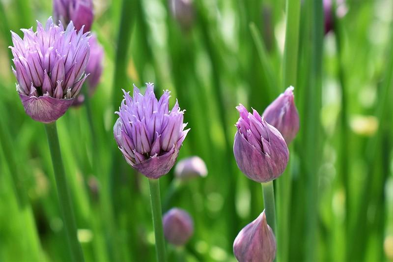 Để giảm stress và thêm yêu đời thì đừng bỏ qua 4 loài hoa này trong khu vườn nhà bạn - Ảnh 2.